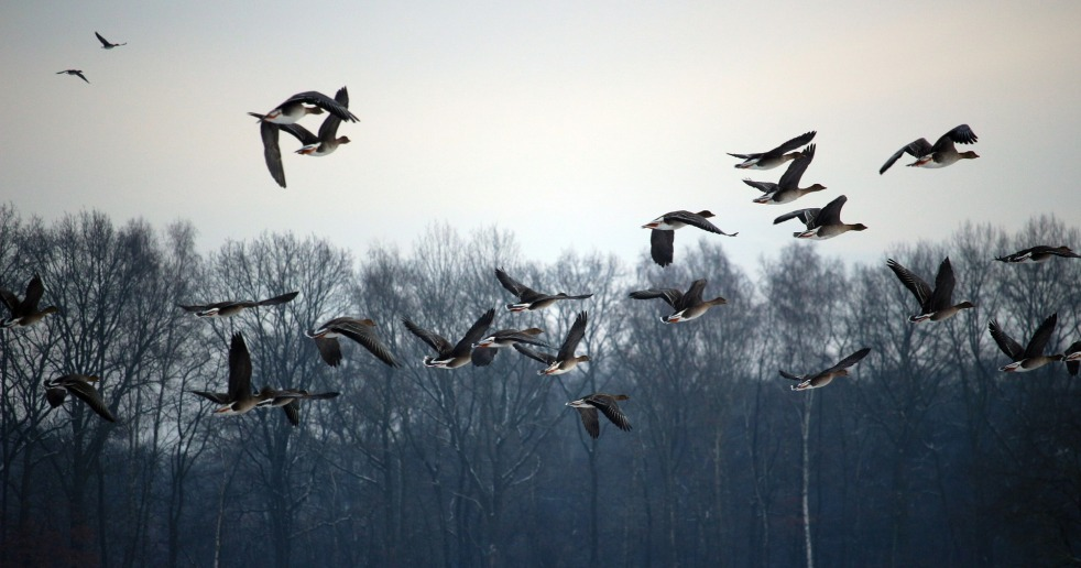 wild-geese-1150000_1920